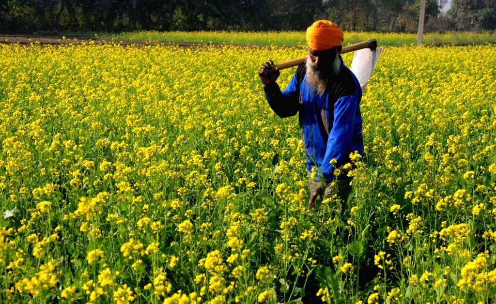 A farmer walks in a mustard field on the outskirts of Amritsar on Nov 26, 2016.