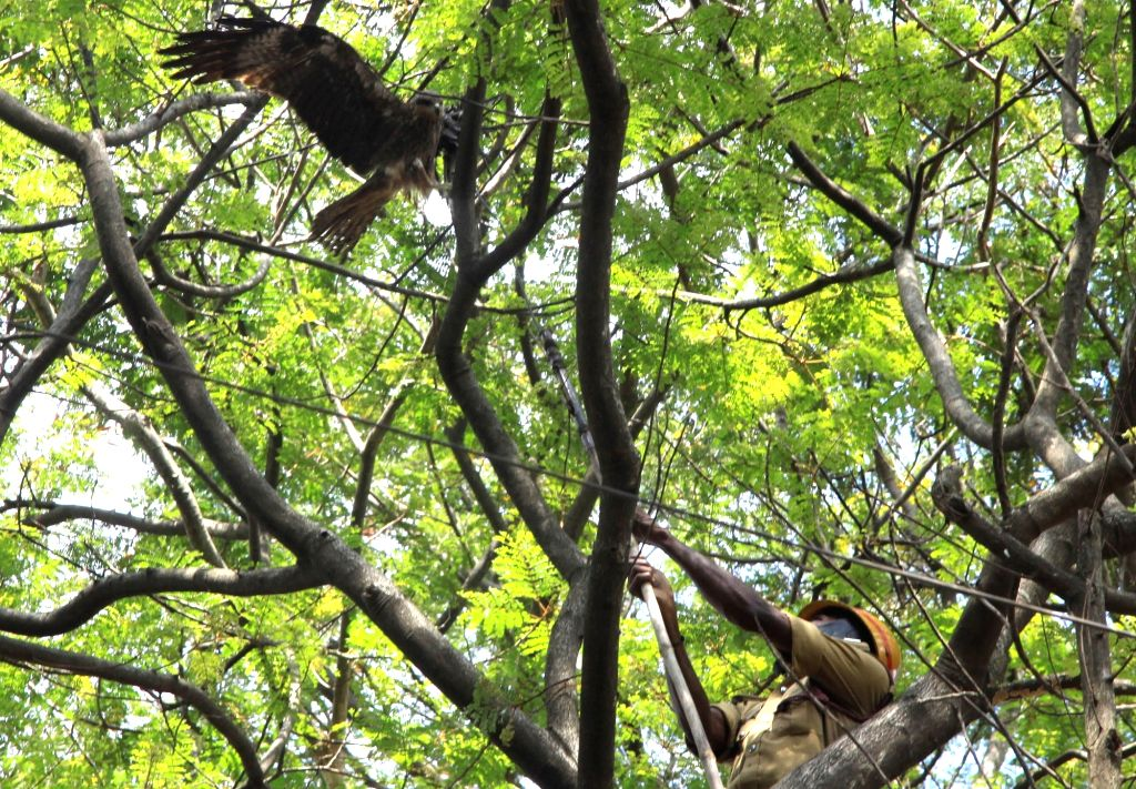 A firefighter rescues an eagle stuck in a tree at Cubbon Park in Bengaluru on Nov 28, 2017.