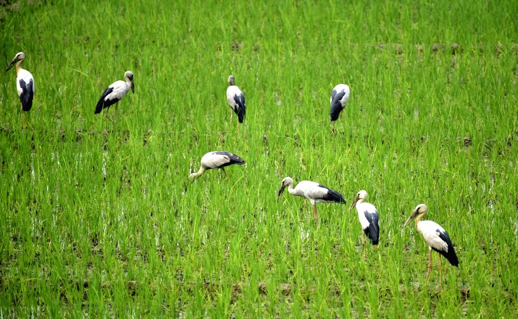 A flock of Asian openbill storks search for food at a rice field in Assam's Morigaon on March 15, 2019.