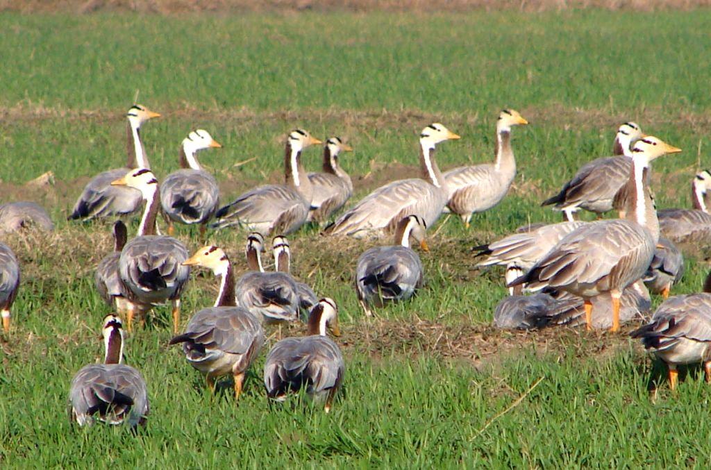 A flock of the bar-headed geese in Pong wetlands in Himachal Pradesh.