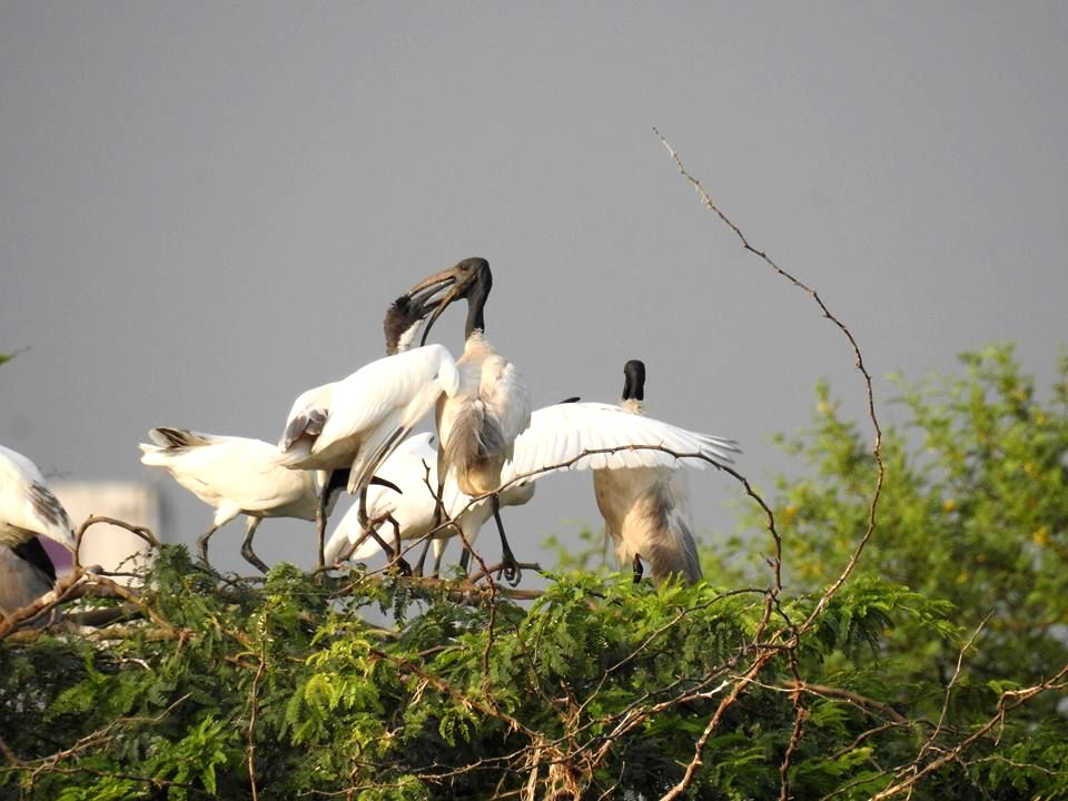 A flock of the black-headed ibis in Udaipur in Rajasthan.