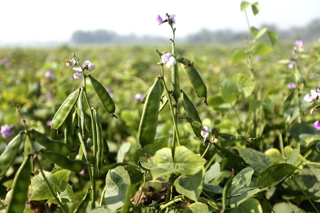 A french bean plant at a field in Bangladesh's Manikganj, on Jan 11, 2019.