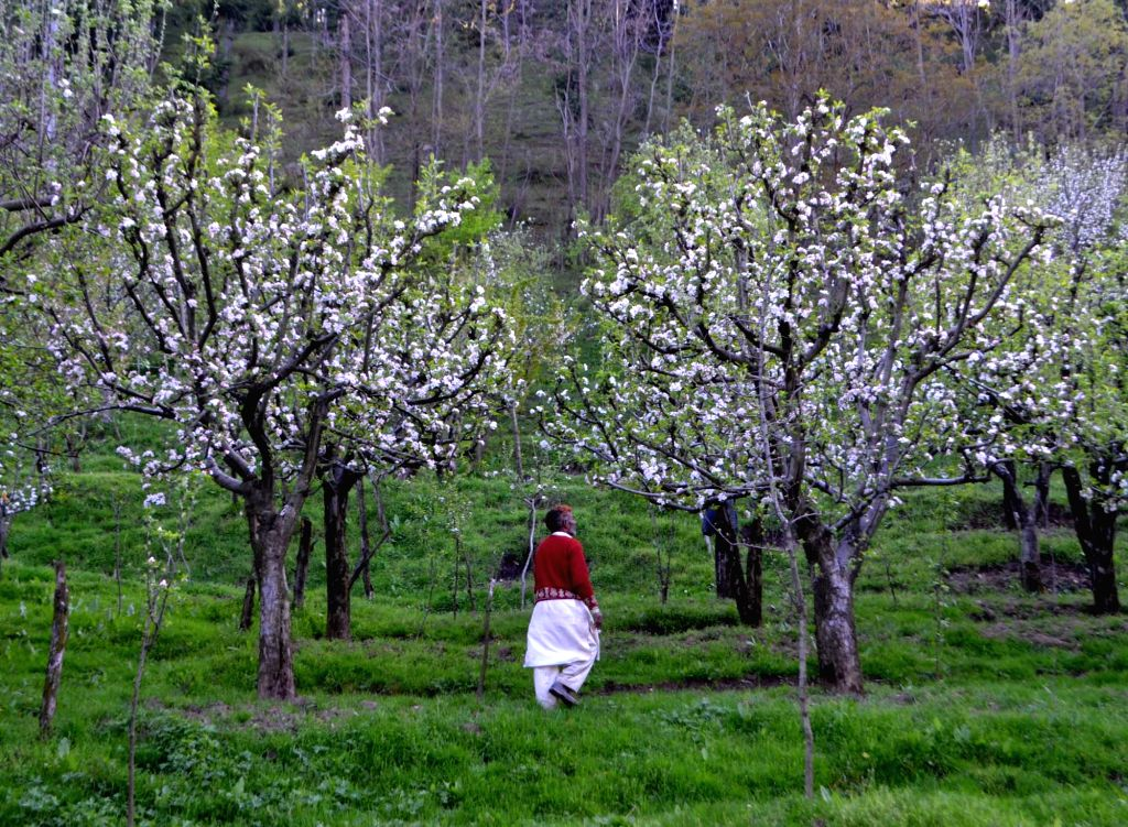 A fruit grower inspects his apple trees in his orchard in Baramulla of Jammu and Kashmir on April 18, 2016.