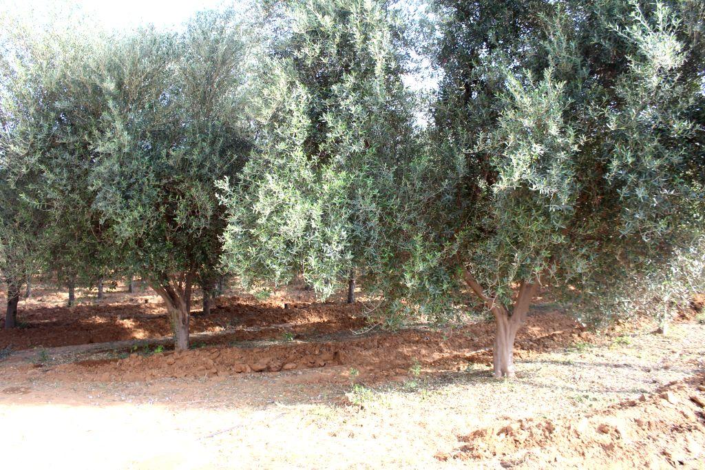 A full grown Olive tree at a farm in Rajashtan.