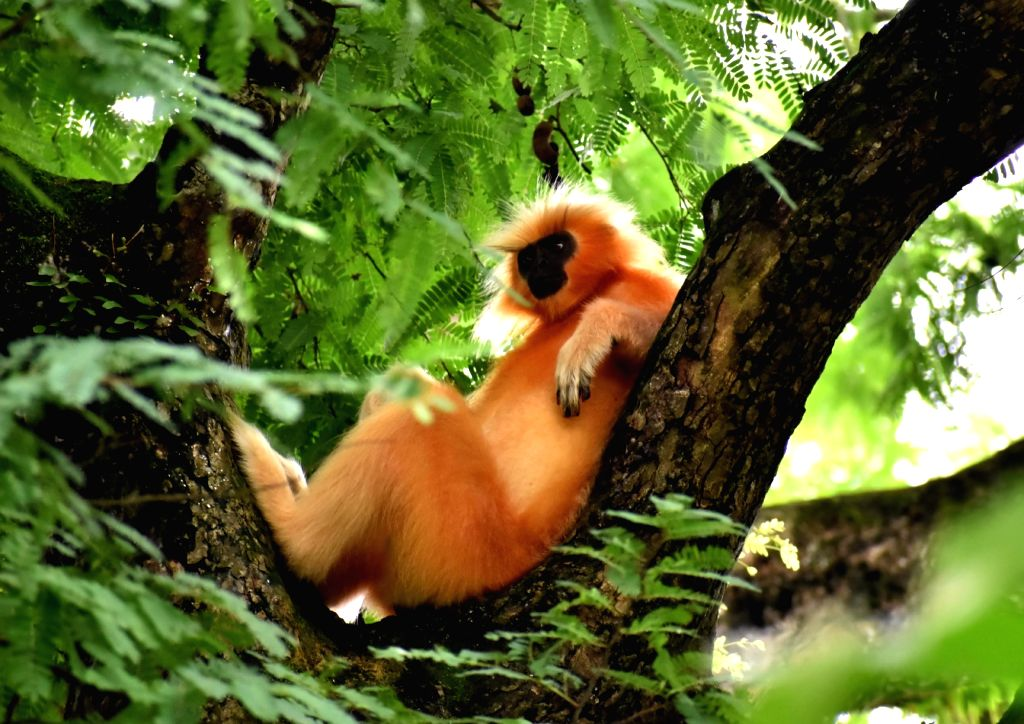 A Golden Langur - one of the most endangered primate species of India - relaxes on a tree, at Assam State Zoo cum Botanical Garden in Guwahati on Aug 1, 2019.