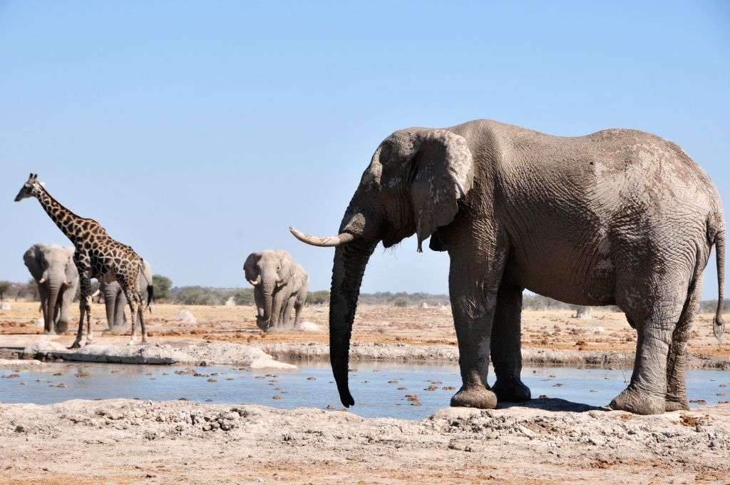 A group of elephants walk towards a water hole in Nxai Pan National Park, central Botswana on Aug. 10, 2015. The Nxai Pan National Park comprises several large ...