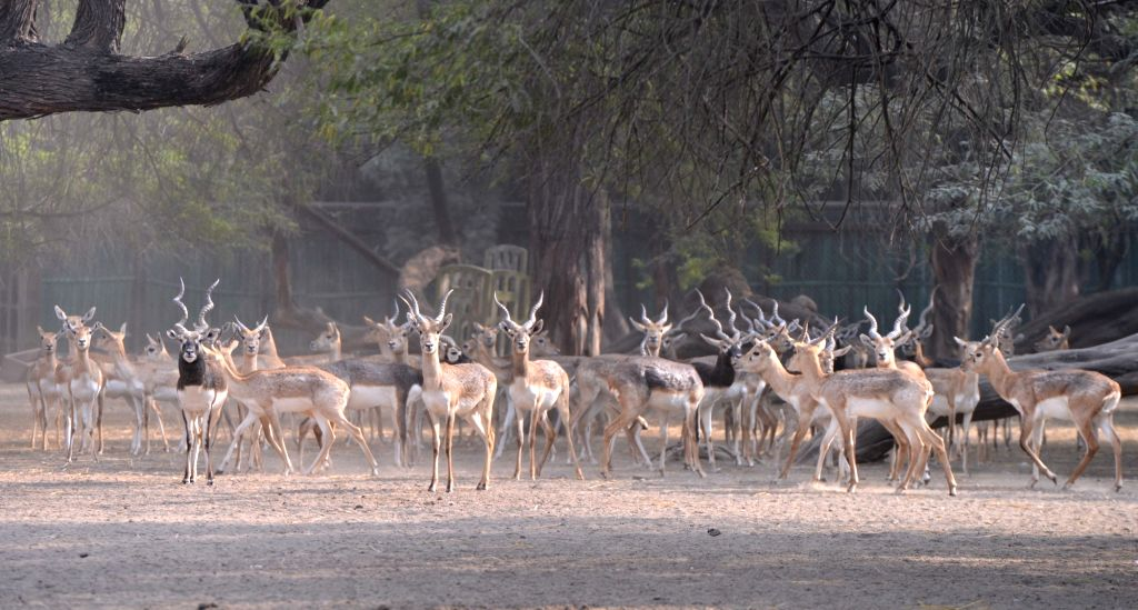 A herd of blackbucks inside their enclosure at the National Zoological Park in New Delhi, on Nov 27, 2018.