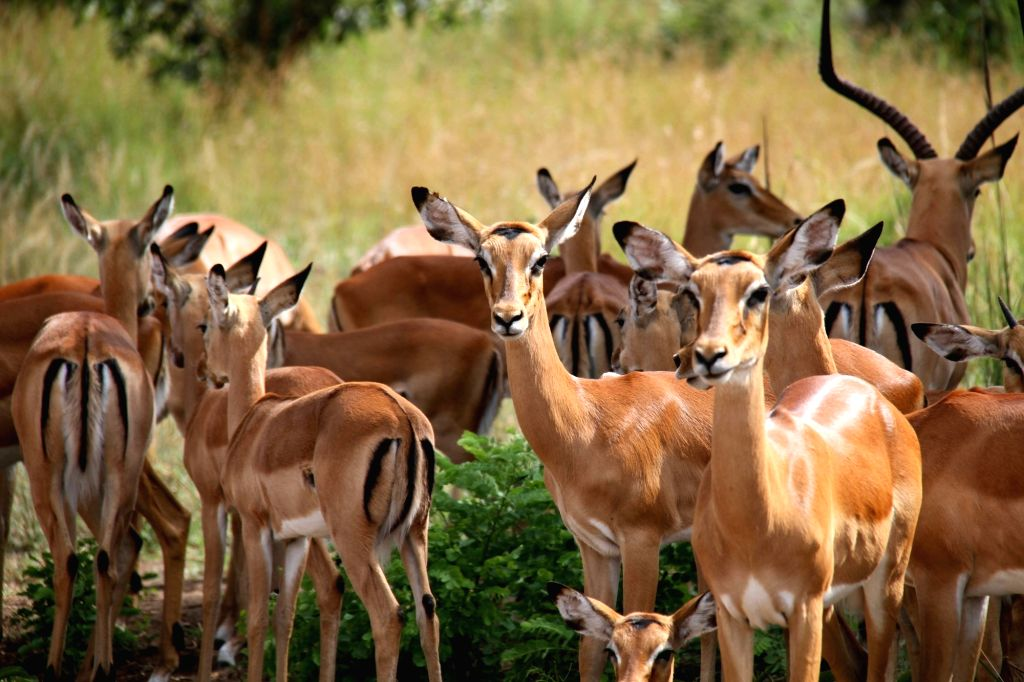 A herd of impala are seen in Akagera National Park, eastern Rwanda, on Feb. 12, 2018. Akagera National Park is Rwanda's only protected savannah region ...