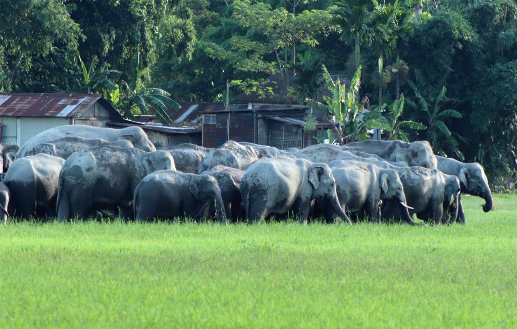 A herd of wild elephants entered Salmora village in Majuli district of Assam on Aug 3, 2019.