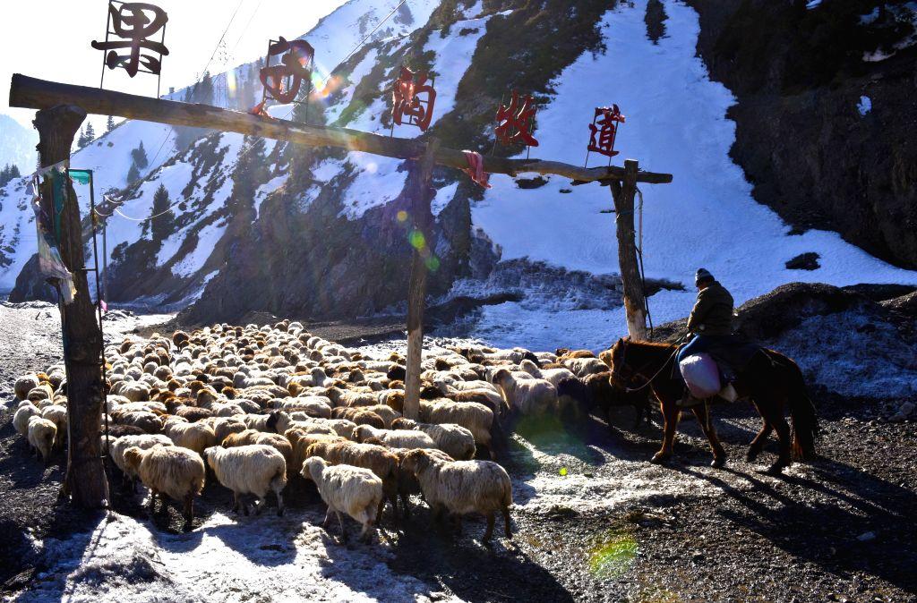 A herdsman transfers sheep to spring pastures in Ili Kazak Autonomous Prefecture, northwest China's Xinjiang Uygur Autonomous Region, March 9, 2017. Local herdsmen ...