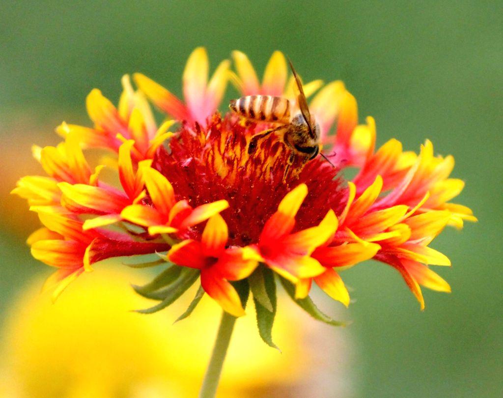 A honey bee sucks nectar from a flower.
