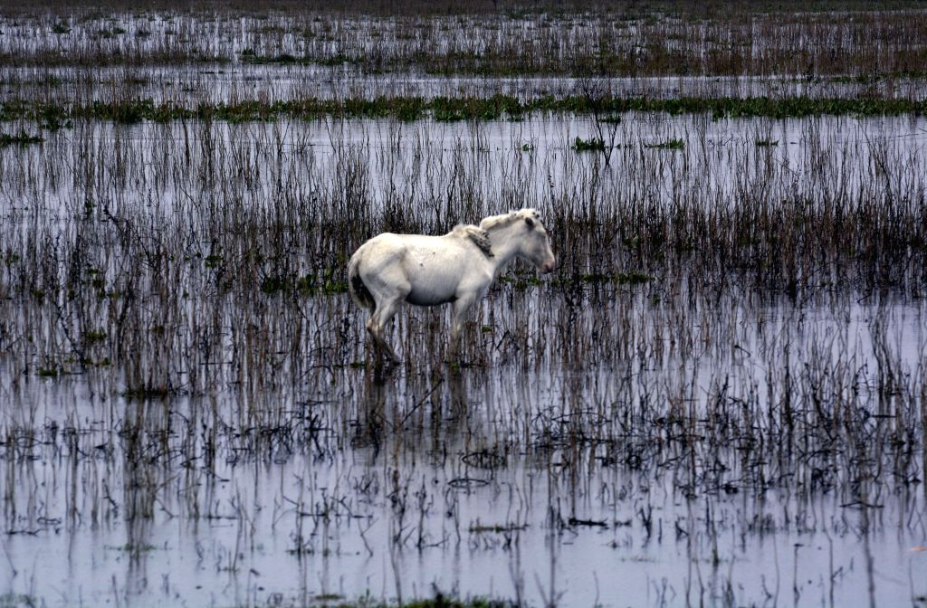A horse walks in a flooded area in La Plata, Buenos Aires province, Argentina, on Aug. 10, 2015. According to local press, about 25 people have been evacuated ...