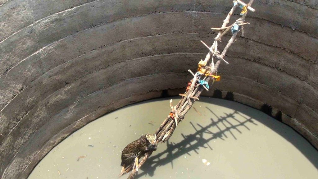 A Jaguar that had accidentally fallen into a well, being rescued by Forest officials at Rajura village in Khanapur Mandal of Telangana's Adilabad district, on June 8, 2019.