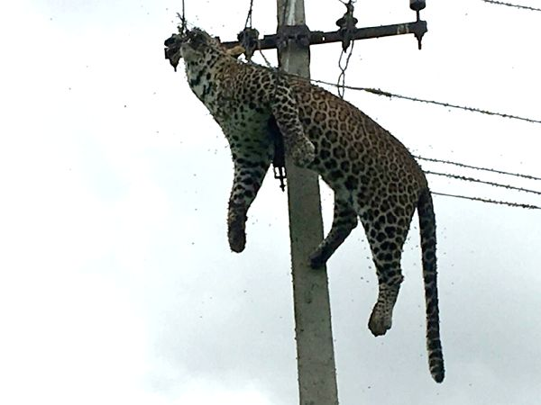 A leopard died of electrocution after it climbed an electricity pole in Mallaram forest area in Nizamabad district of Telangana on July 3, 2017.