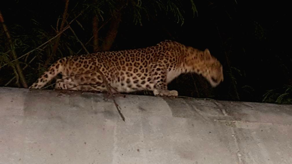 A leopard spotted atop a water pipeline at Bhandup in Mumbai, on June 23, 2017.