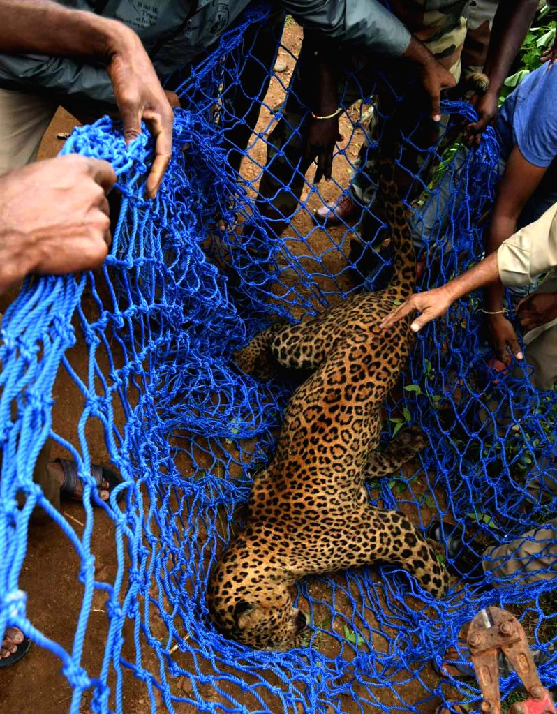 A leopard that strayed into a village near HD Kote, in Karnataka's Mysuru district being rescued, on July 31, 2018.