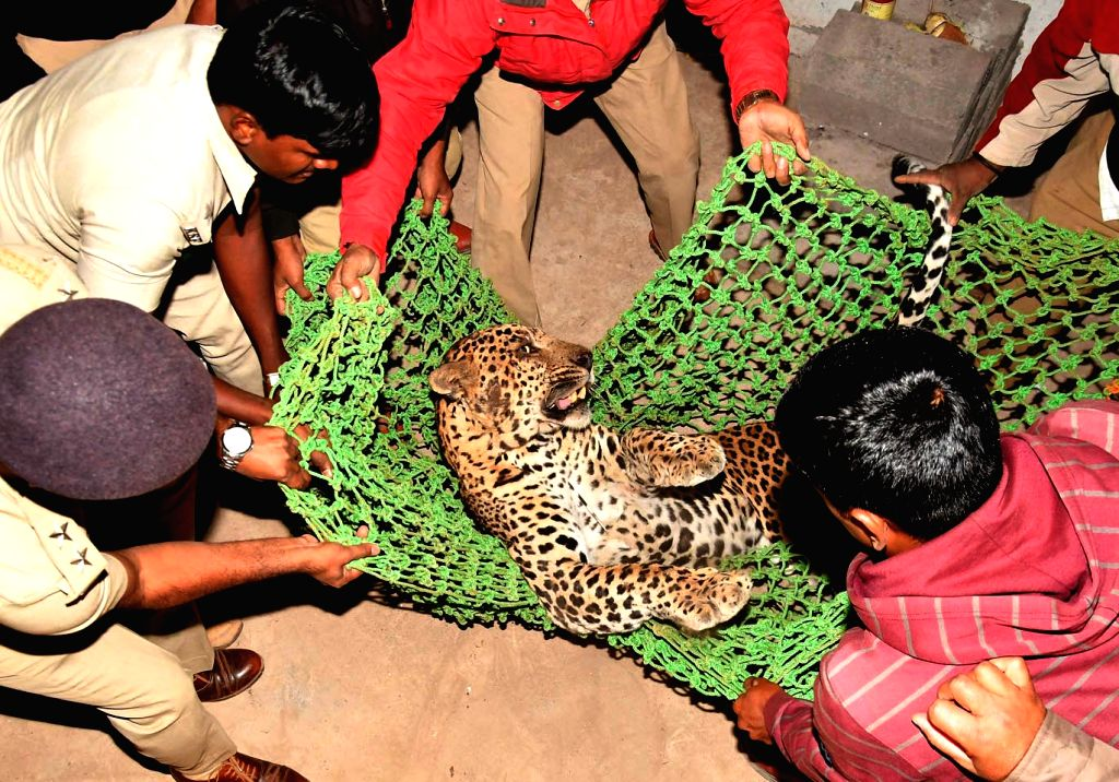 A leopard that strayed into Chamundi Hills being rescued by forest officials in Mysuru on Feb 6, 2018.