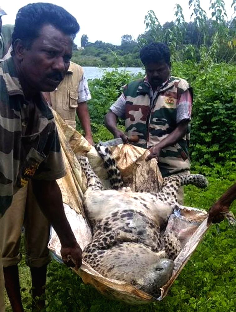 A leopard was found dead near Kabini Dam at HD Kote taluk in Mysuru on Aug 4, 2018. The leopard was found floating in the Kapila River and the matter came to light when the villagers who ...