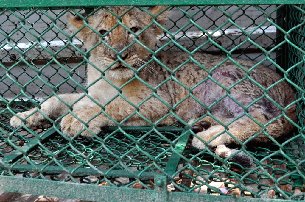 A lion cub that was seized by the Forest officials along with three rare species of 'Lemur' monkeys, from three persons who had allegedly smuggled the animals from Bangladesh, near ...