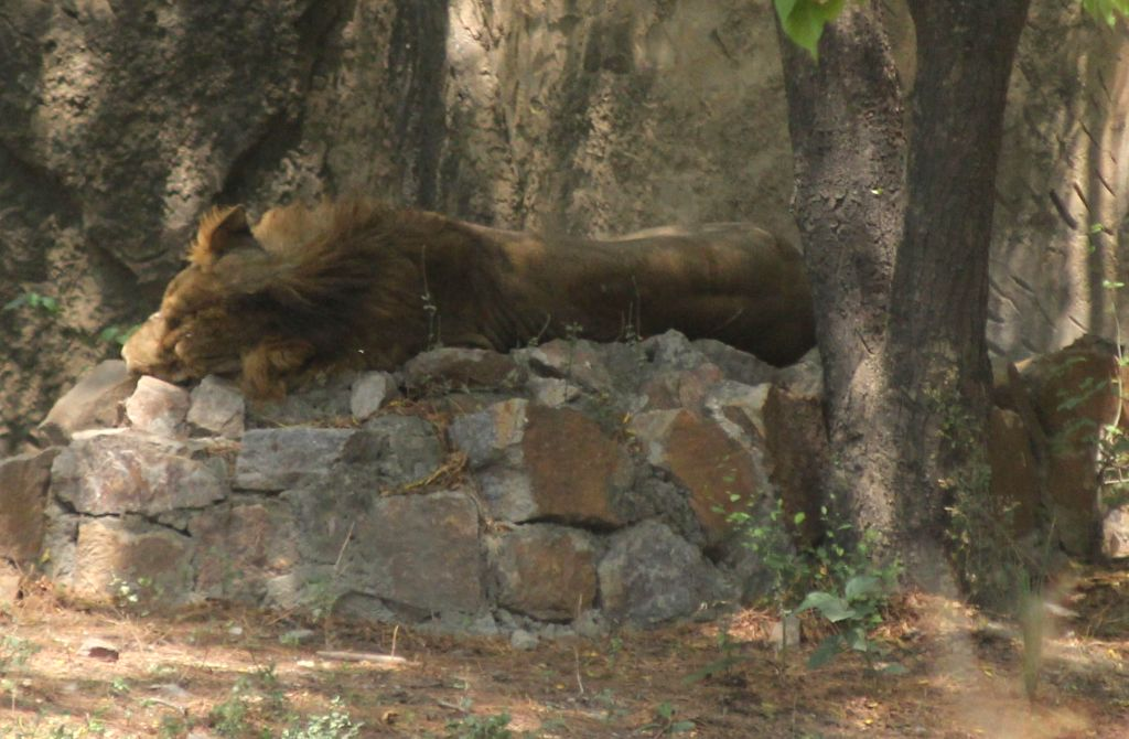 A lion enjoying its siesta inside its enclosure at the National Zoological Park in New Delhi, on June 1, 2019.