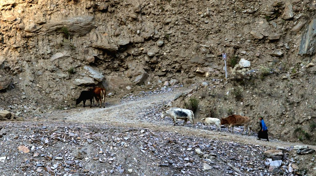 A local woman walks with her cattles at Timure in Rasuwa, Nepal, Nov. 1, 2015.