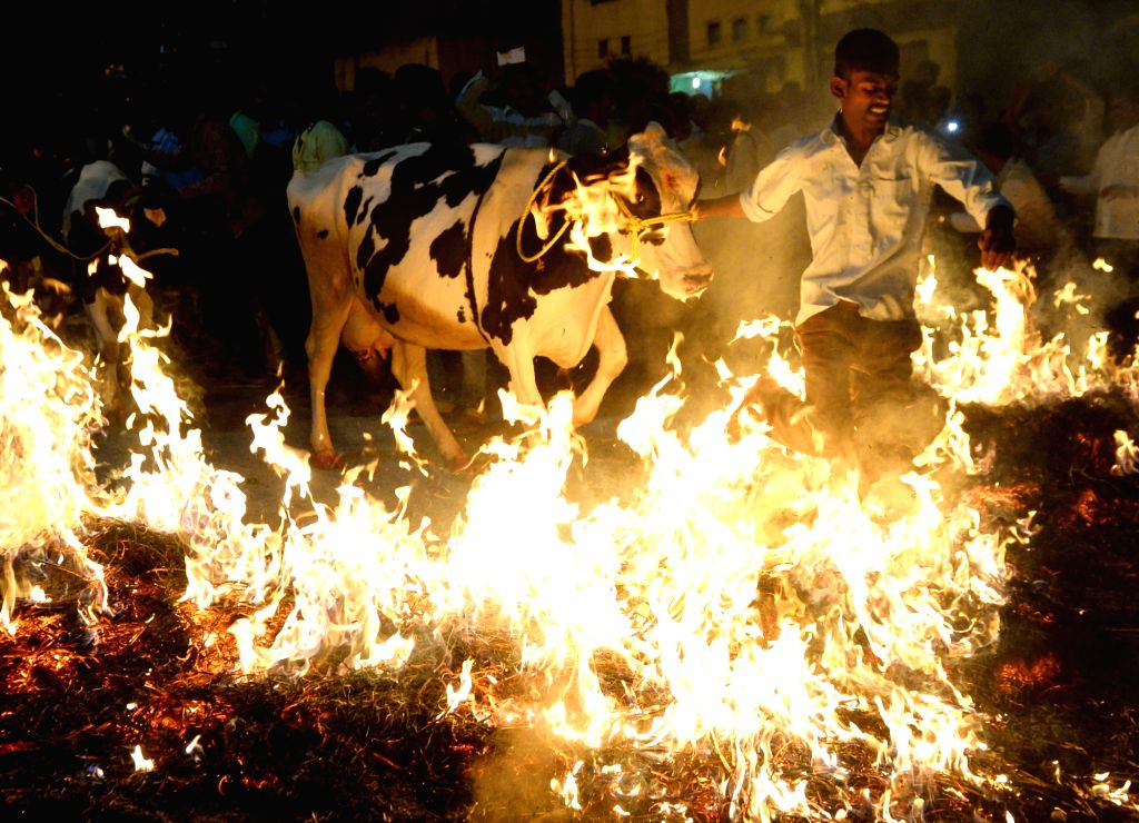 A man along with his cattle jumps over fire on Makar Sankranti in Bengaluru on Jan 14, 2017.