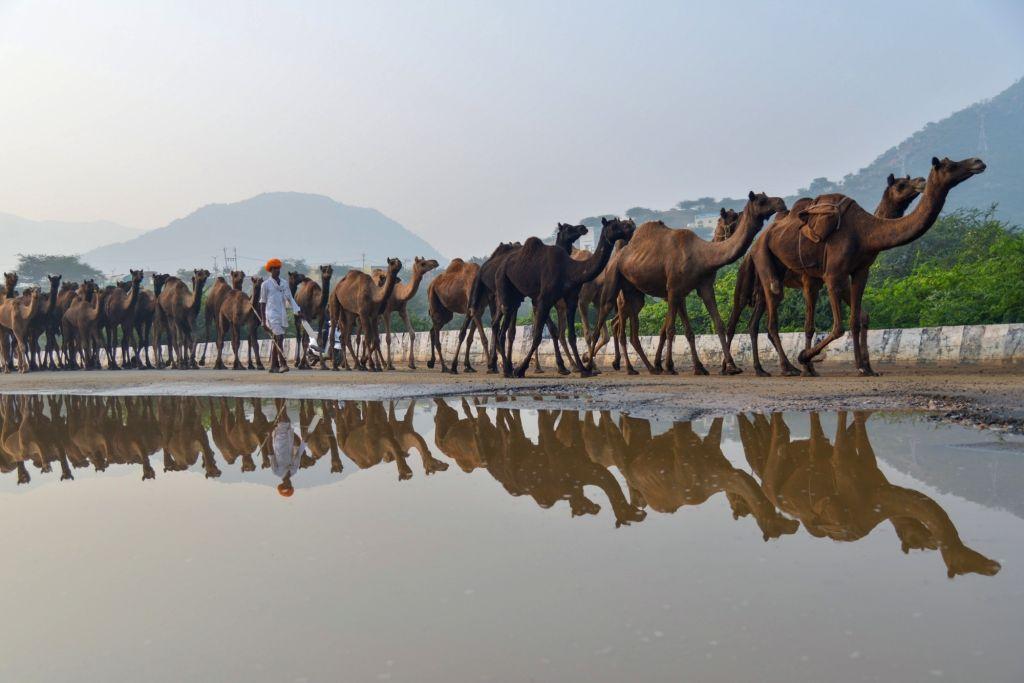 "A man walks with his caravan of camels in Pushkar, Rajasthan during ""2019 Pushkar Fair"" on Nov 4, 2019."