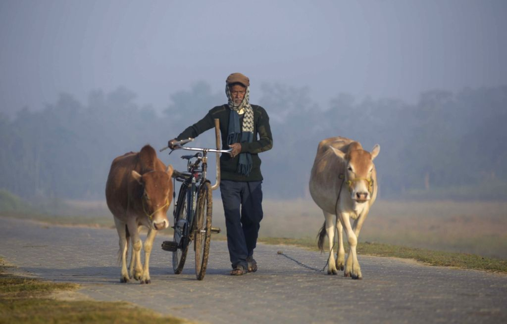 A man walks with his cattle on a winter morning in Nonoi village of Assam's Nagaon district on Dec 11, 2018.