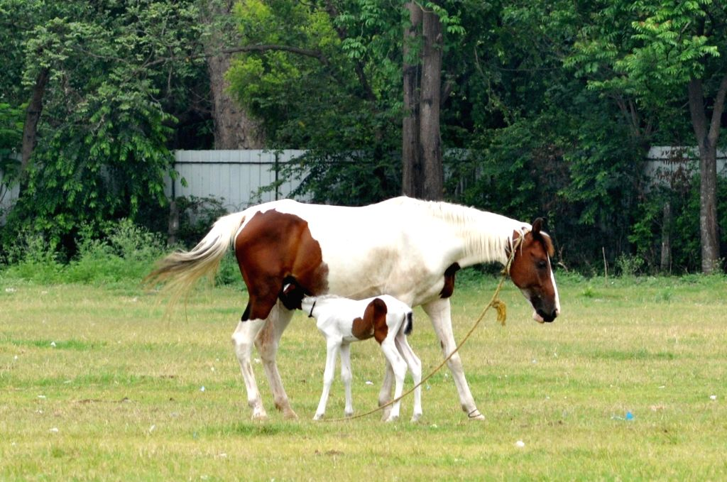 A mare feeds her foal at the deserted Brigade Parade Ground in Kolkata during the extended nationwide lockdown imposed to mitigate the spread of coronavirus; on Apr 22, 2020.