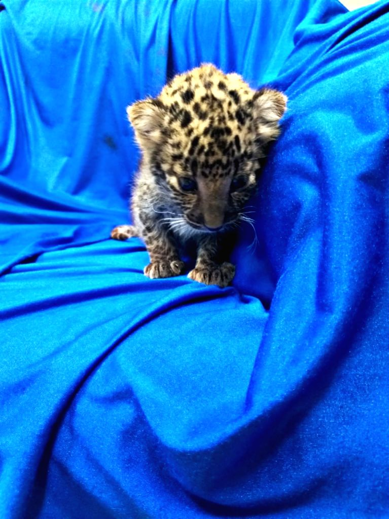 A month-old leopard cub that was seized from the baggage of a passenger by the Air Intelligence Unit (AIU) at Chennai International Airport on Feb 2, 2019. The cub has been handed over to ...