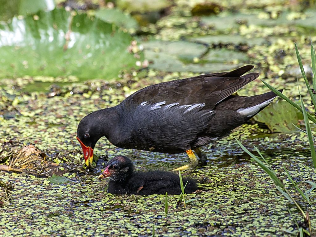 A Moorhen with its chick at Mandore in Jodhpur on May 14, 2017. Mother's Day is observed on 14th May .