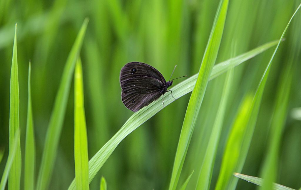 A moth sits on a paddy plant in a paddy field in Anantnag, south of Srinagar city, the summer capital of Indian-controlled Kashmir, Aug. 7, 2020.