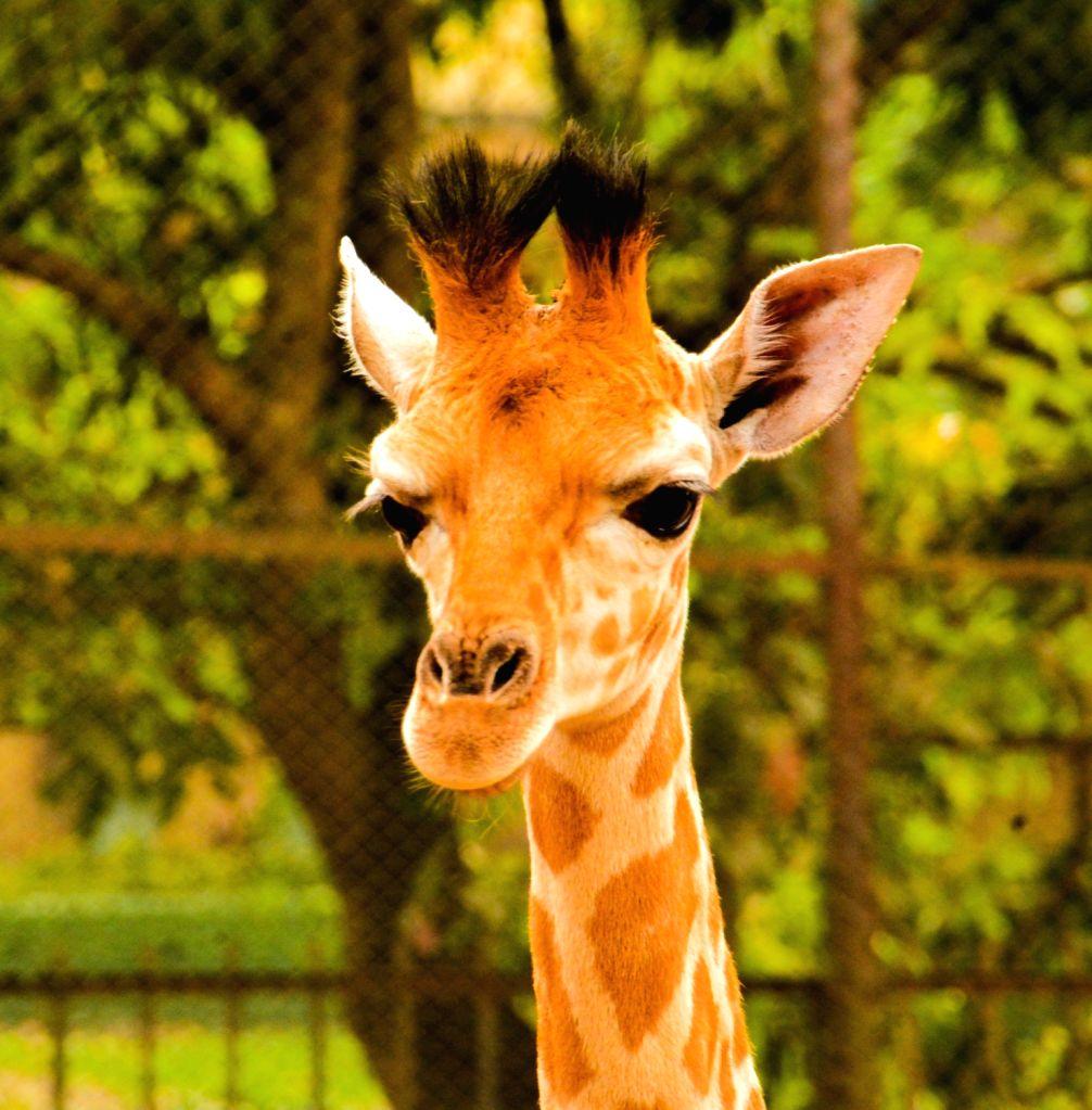 A mother giraffe with her new born baby giraffe at Alipore Zoological Garden in Kolkata on March 10, 2017.