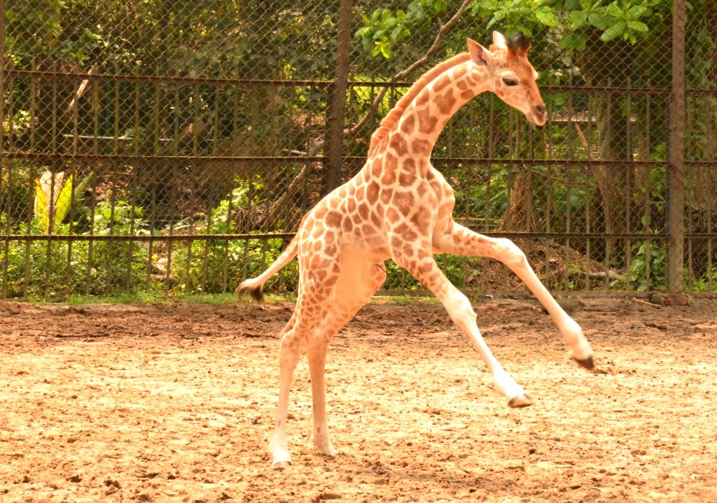 A mother giraffe with her new born baby giraffe at Alipore Zoological Garden in Kolkata on March 10, 2017.