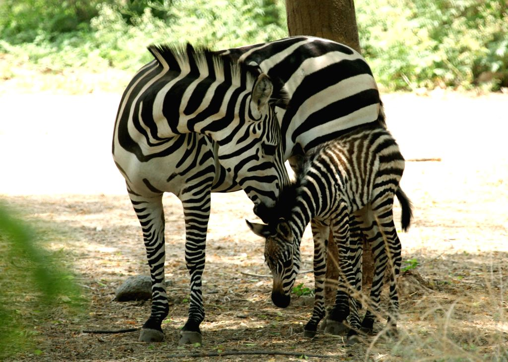 A new born zebra foal with its mother at the Mysore Zoo in Mysuru on April 21, 2016.