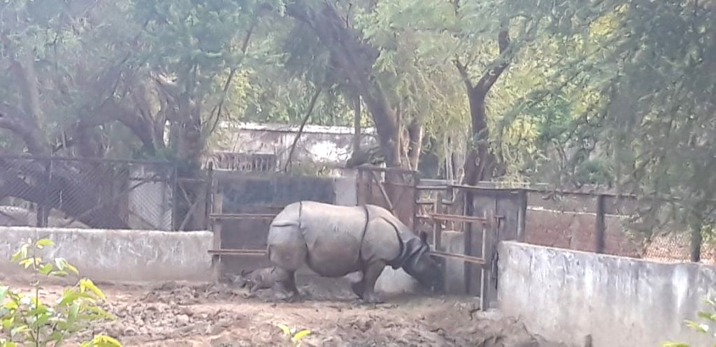 A newly born baby rhino with his mother at Sanjay Gandhi Biological Park, in Patna on May 8, 2020.