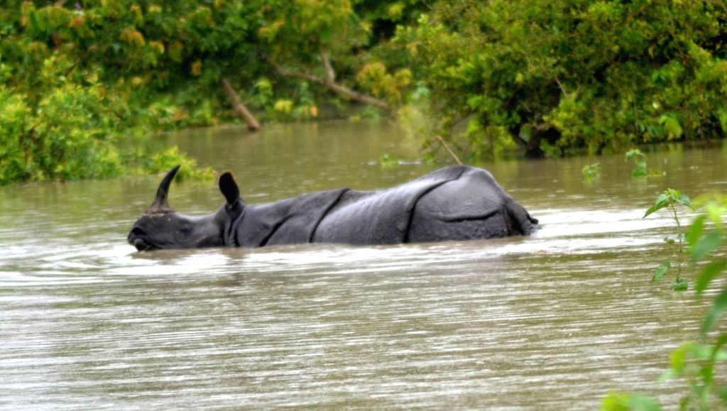 A one horned Rhino wades through the flood waters in search of a highland inside the Pobitora wildlife sanctuary in the flood affected Morigaon district of Assam on June 25, 2020.
