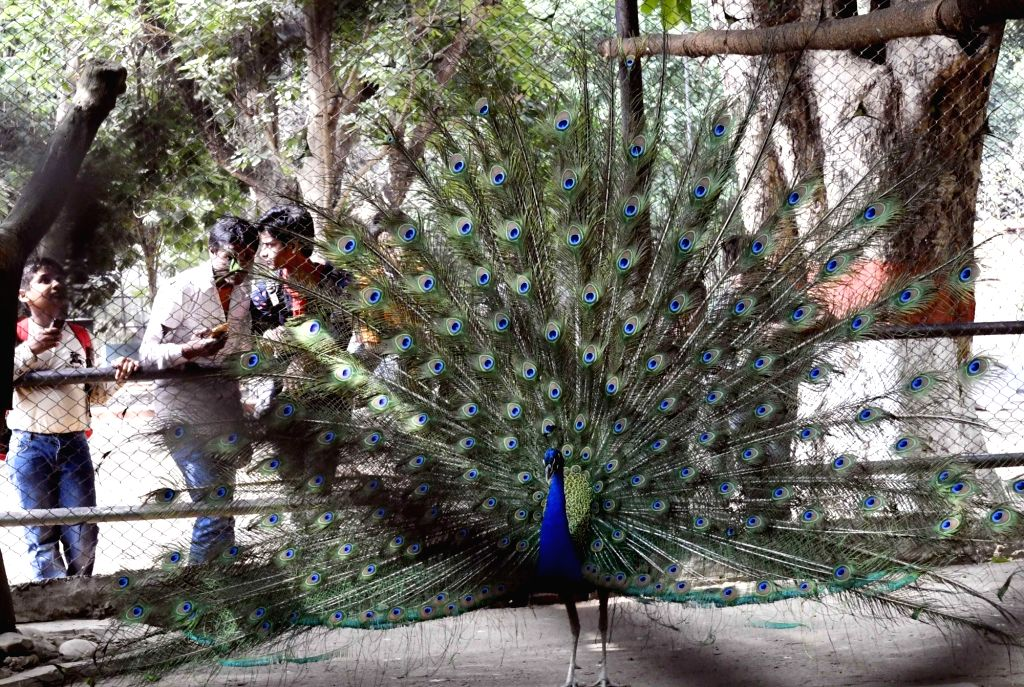 A peacock dances at Patna Zoo on April 16, 2017.