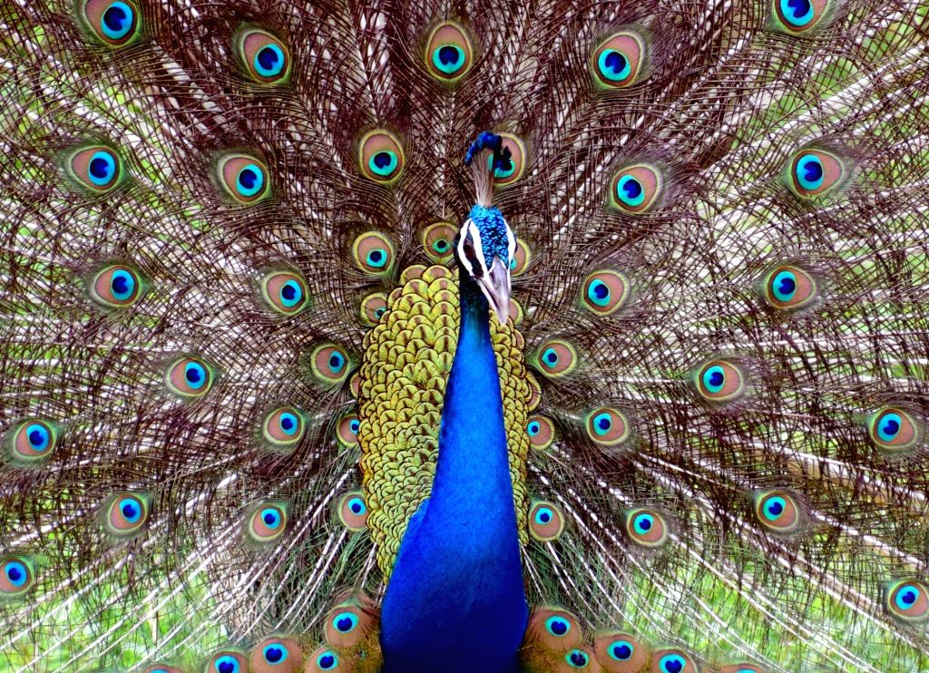 A peacock dances on an overcast day in Mathura on July 20, 2018.