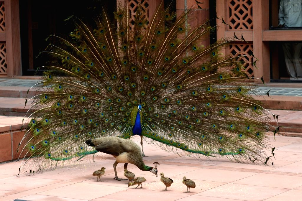 A peacock displays its colorful plumage in front of a peahen with chicks, at the Parliament Library building in New Delhi on Aug 2, 2017.