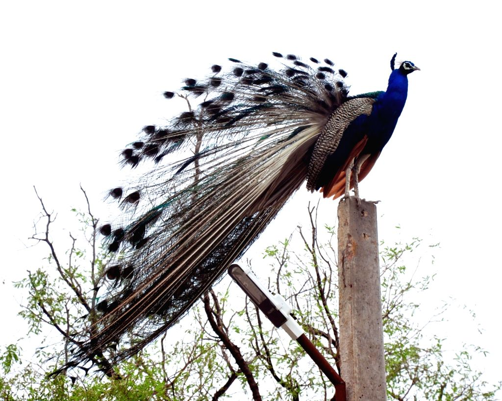 A peacock perched upon a lamp post on an overcast day in Bikaner of Rajasthan on June 28, 2016.