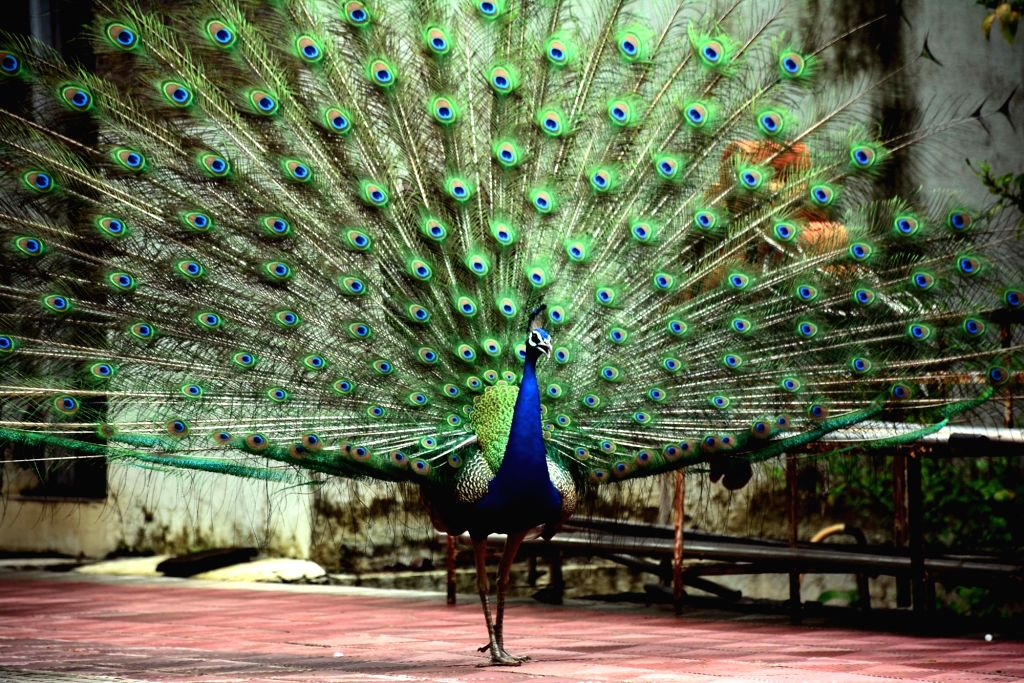 A peacock spreads its feathers to dance at Peacock Conservation Reserve in the forest area of Raj Bhavan in Mumbai on July 1, 2016.