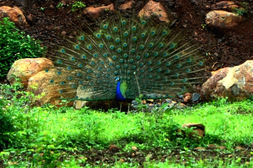 A peacock spreads its feathers to dance in Bhopal on July 27, 2016.