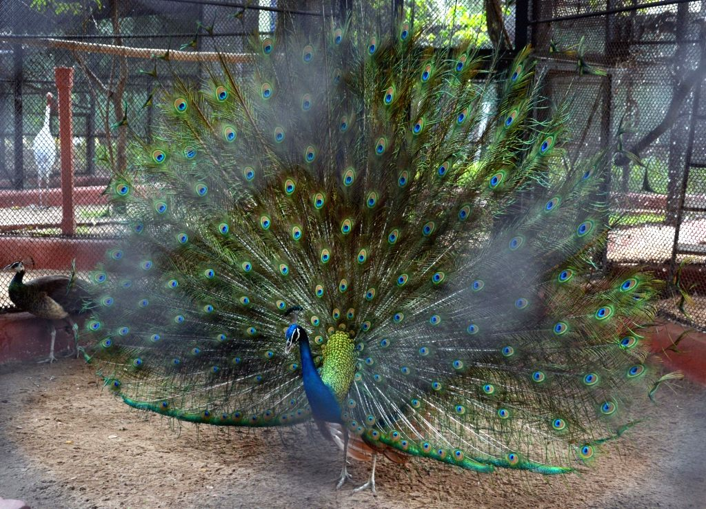 A peacock with its extended feathers, seen at its enclosure at Alipore Zoological Garden, in Kolkata on April 5, 2019.