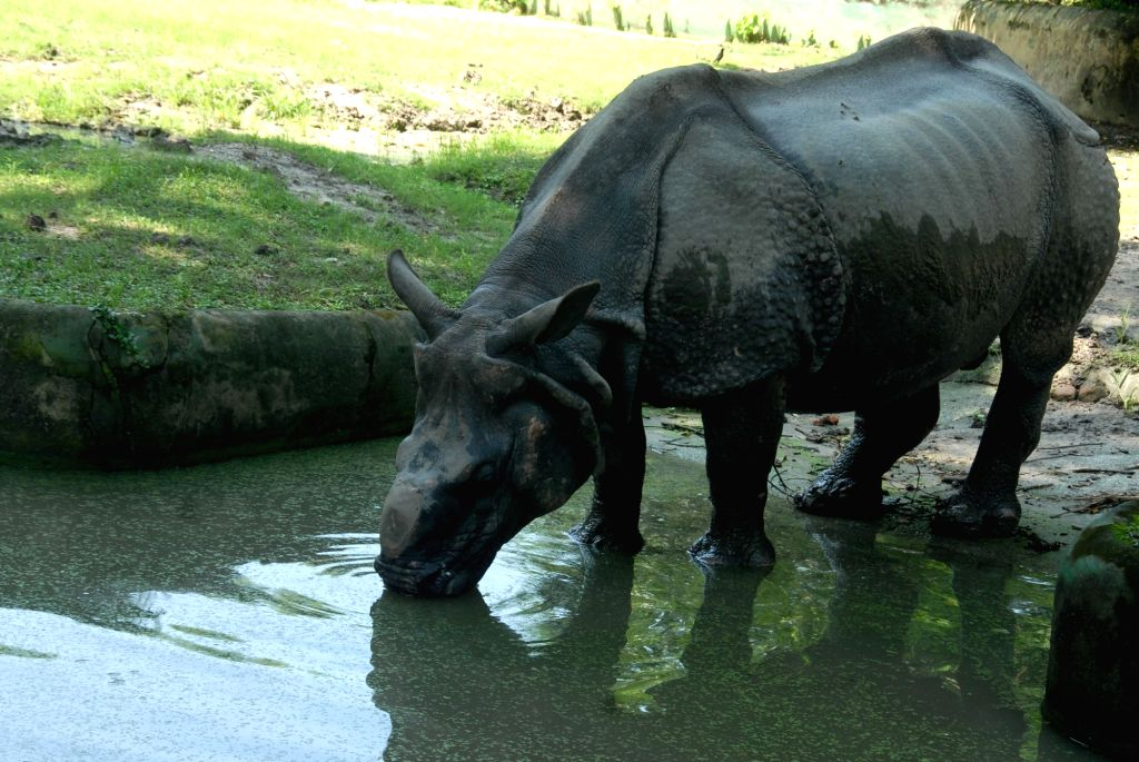 A Rhino at Alipore Zoological Garden on World Rhino Day in Kolkata on Sep 22, 2019.