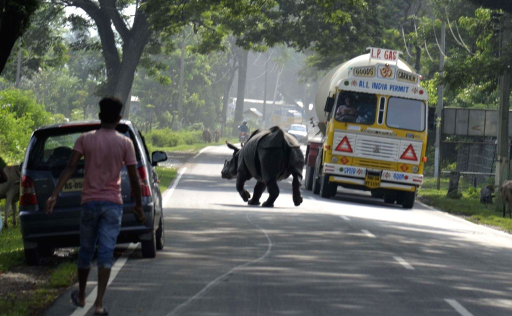 A rhinoceros cross the National Highway 37 that strayed into Bagori area following flood at Kaziranga National park in Nagaon District of Assam on Aug. 15, 2017.