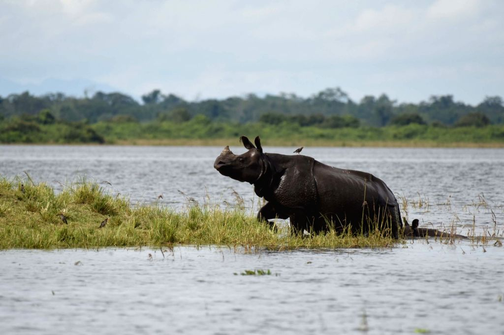 A rhinoceros moves to higher lands from the flood hit areas of Assam's Kaziranga National Park on July 6, 2017. The flood situation in Assam remained unchanged on Thursday with close to ...