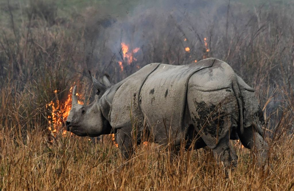 A rhinoceros tries to escape wildfire that broke out in Pobitora Wildlife Sanctuary in Morigaon district of Assam; on March 4, 2019.