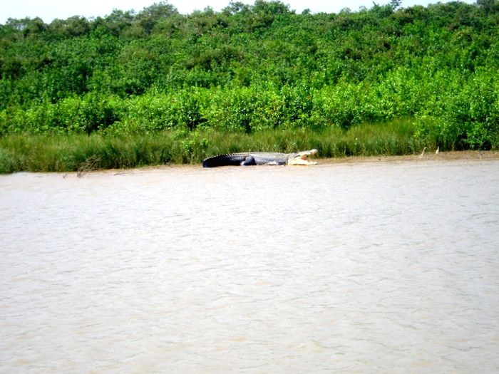 A Saltwater Crocodile basking near a creek in Bhitarkanika.