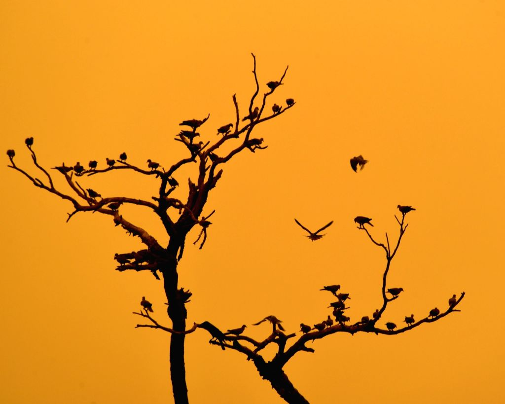A silhouette of birds perching on the leafless branches of a tree in the backdrop of skies turned yellow due to dust storm, in Bikaner on June 14, 2018.